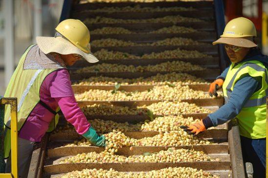 Pistachios Harvest process in America